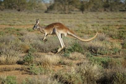 Kangaroo running -®Hopping Pictures
