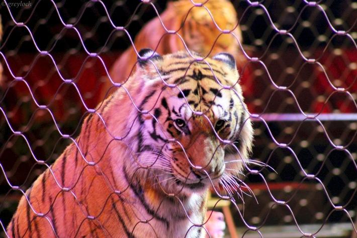 Zirkustiere zurück auf der Agenda Schweizer Tierschutz STS
