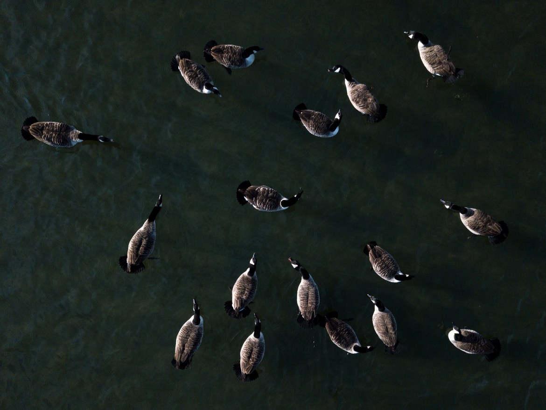 Drohne über Enten