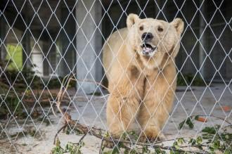 4.7.2018, Arosa, Schweiz: Der Bär Napa erreicht nach langer fahrt aus Serbien sein neues Zu Hause in Arosa. ©VIER PFOTEN