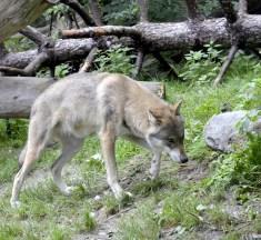 Wildhüter erschiesst kranken Jungwolf