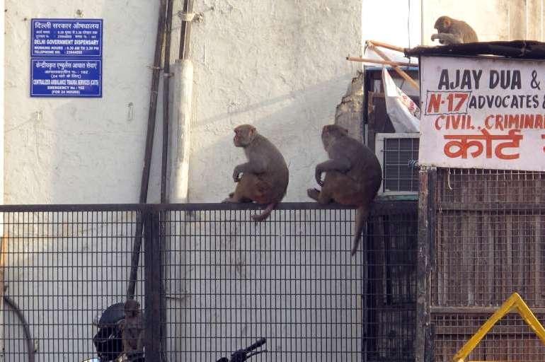 Affenplage Indien