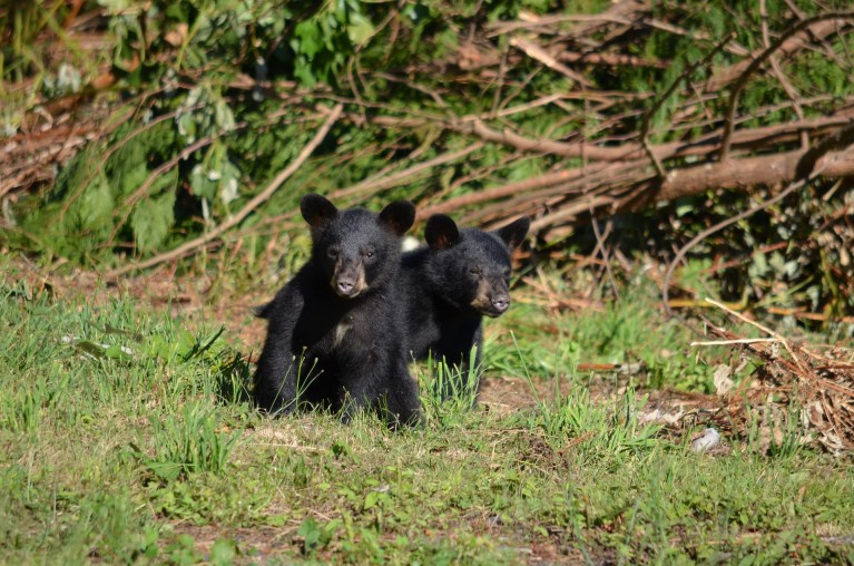 Schwarzbären