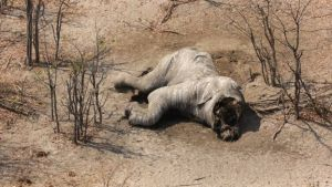 Elefanten Wilderei Botswana