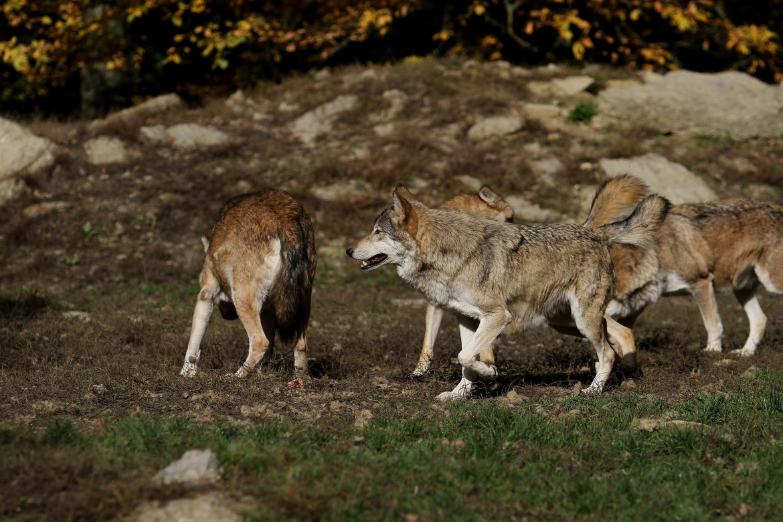 Rudel Wölfe
