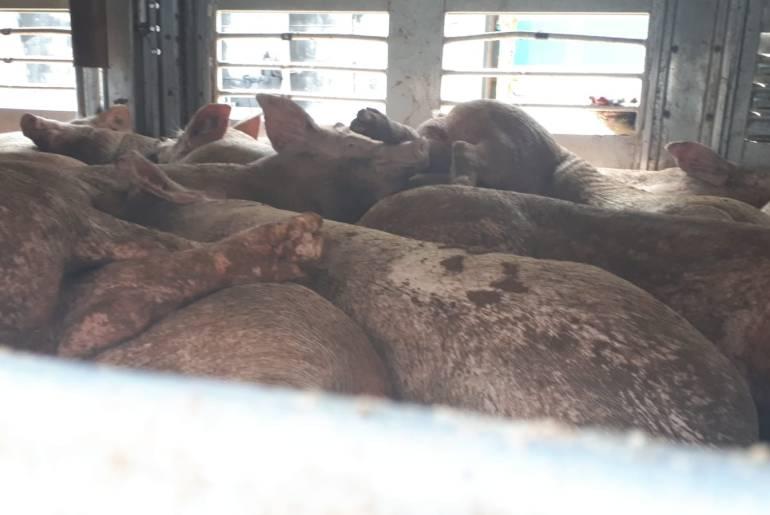 Schweinetransport Wanna-Bulgarien