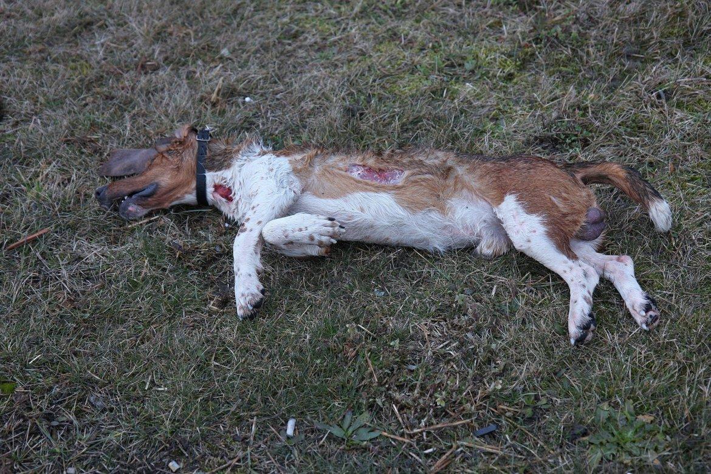 Toter Jagdhund - Opfer der Baujagd