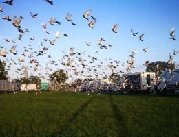 Taubenwettflüge