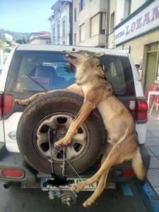 Tierpartei PACMA in Spanien Die Jagd fordert immer noch Opfer. Dieses heute veröffentlichte Foto eines Wolfes aus Asturien zeigt, wie die Gewalttäter ihre Grausamkeit zeigen. Das muss aufhören! Wir werden weiter für das Ende der Jagd kämpfen. Es ist unser politisches Engagement und wir werden Sie nicht im Stich lassen.