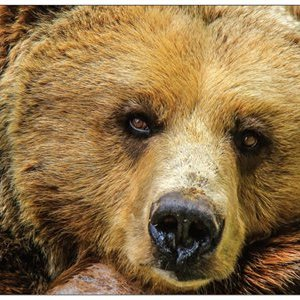 Grusskarte Braunbär