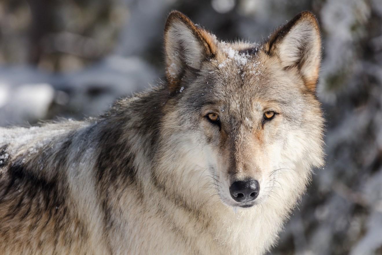 Wallis: Grüne kritisierten eine Rückkehr zur Jagd des Mittelalters