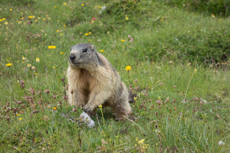 Alpenmurmeltiere sind sich genetisch sehr ähnlich
