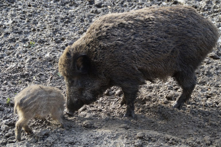 Freiburger Hobby-Jäger versagen bei der Wildschweinregulierung