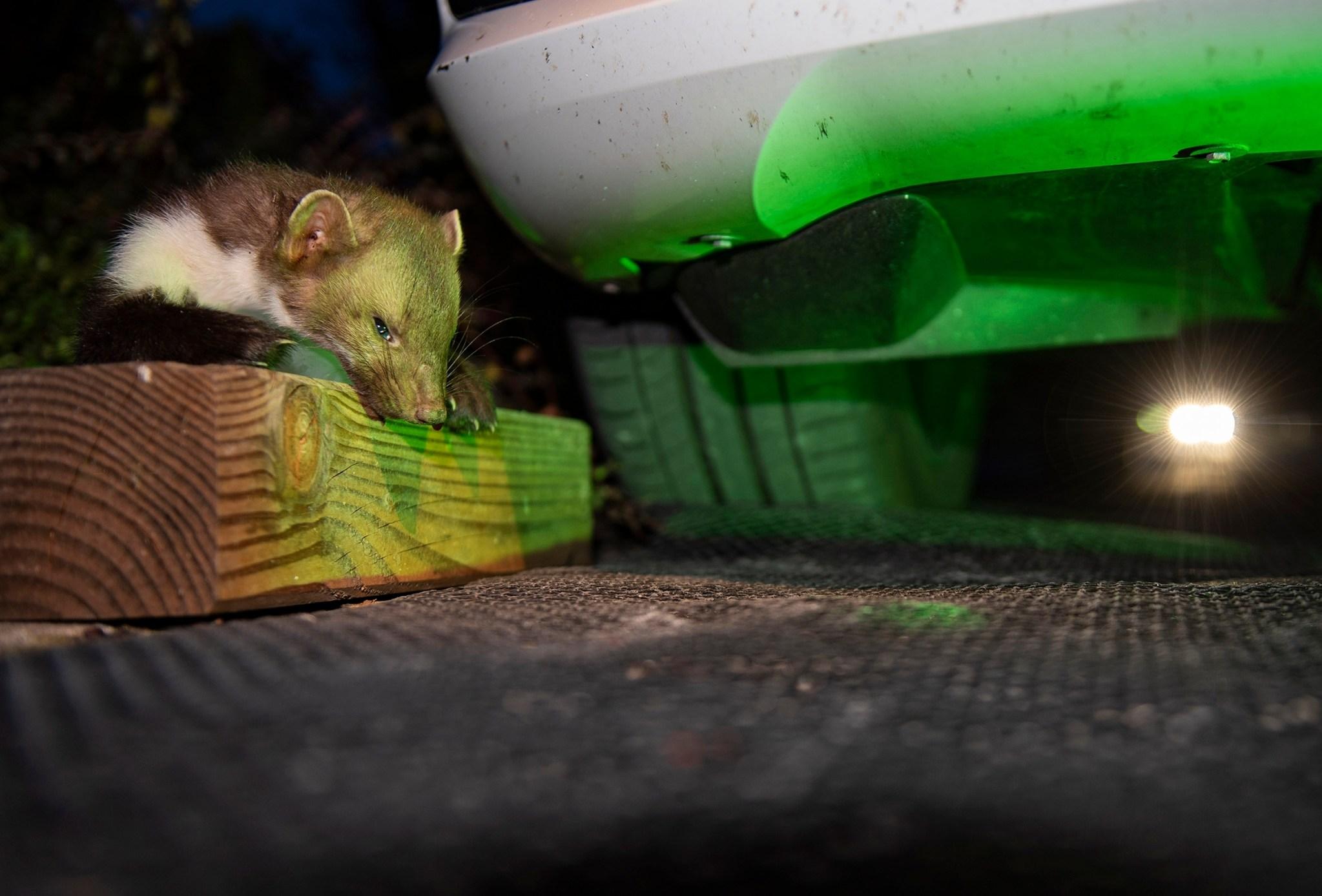 Marder machen Jagd auf Kabel und Schläuche