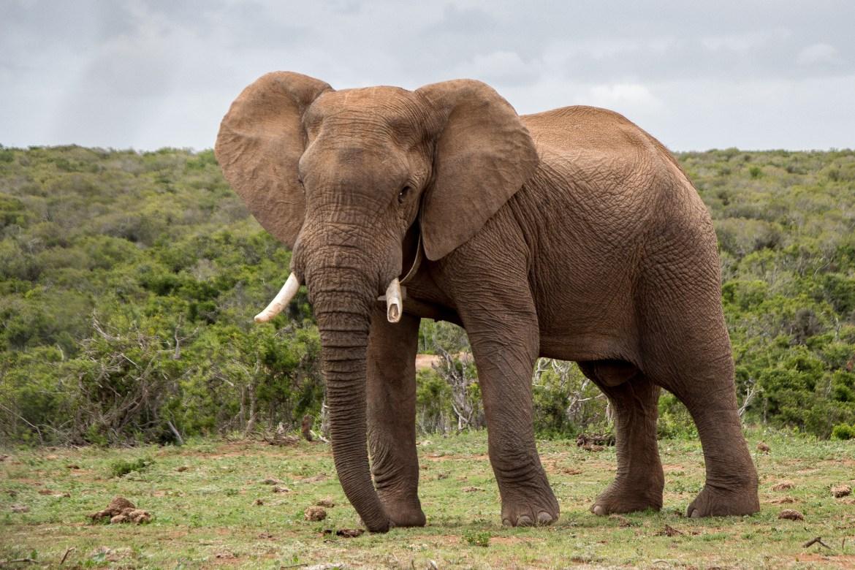 Paarungsverhalten afrikanischer Elefanten