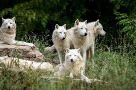 Neues Wolfsrudel in Graubünden