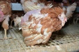 PETA fordert Nudelhersteller mit Petition auf, zu einer eifreien Produktion zu wechseln