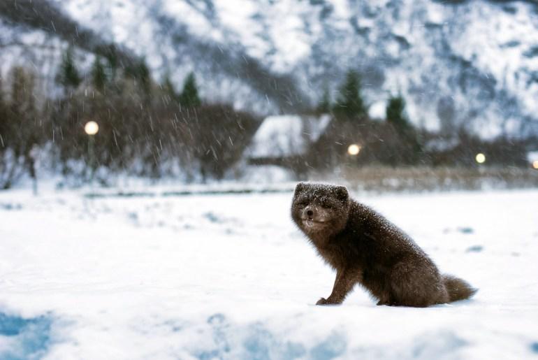 Polarfüchsin wandert von Norwegen nach Kanada