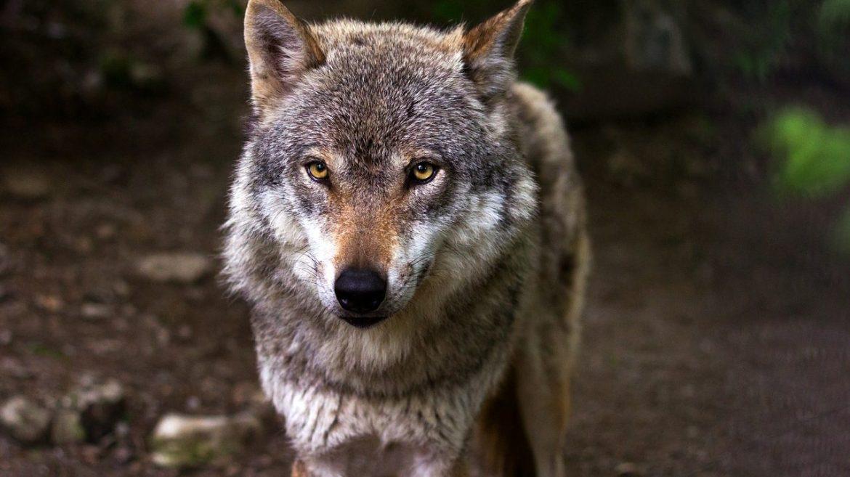 cropped-Der-Wolf.jpg