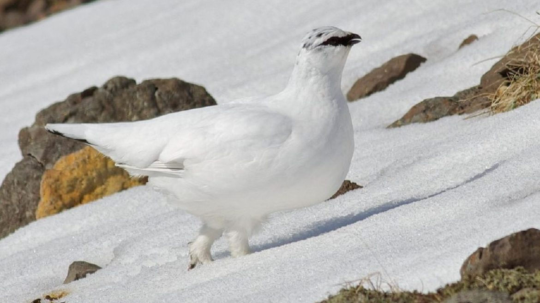 cropped-Tessiner-Jäger-wollen-Schneehuhn-nicht-geschützt.jpg