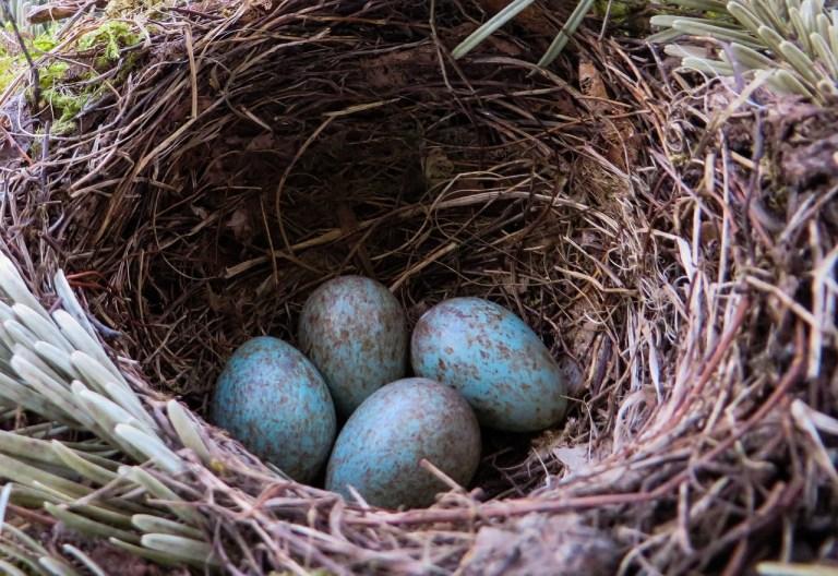 Eier sind in kalten Klimazonen dunkler gefärbt