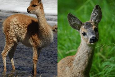 Hobby-Jäger erschiesst Lama statt Reh