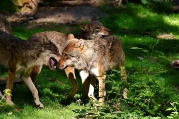 Mehr Wölfe und weniger Risse im Wallis
