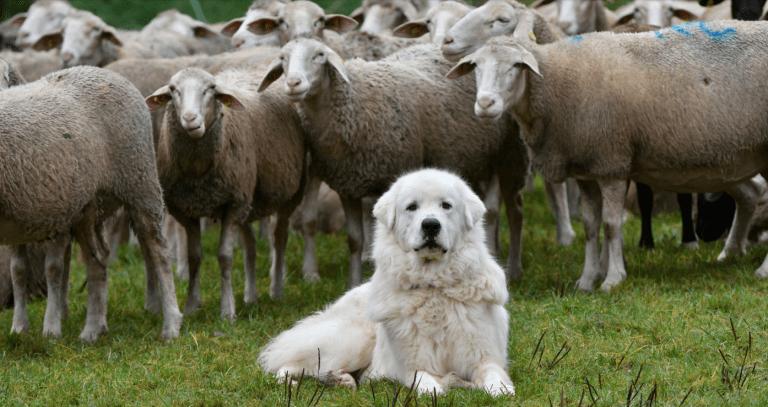 Wolf: Herdenschutz laut Studie effektiver als Abschuss