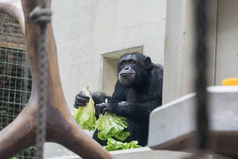 Schimpanse Tatu