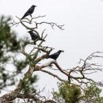 Thun bekämpft Krähen mit Falkner und Uhu-Attrappen