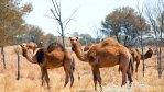 Wildes Kamel Australien