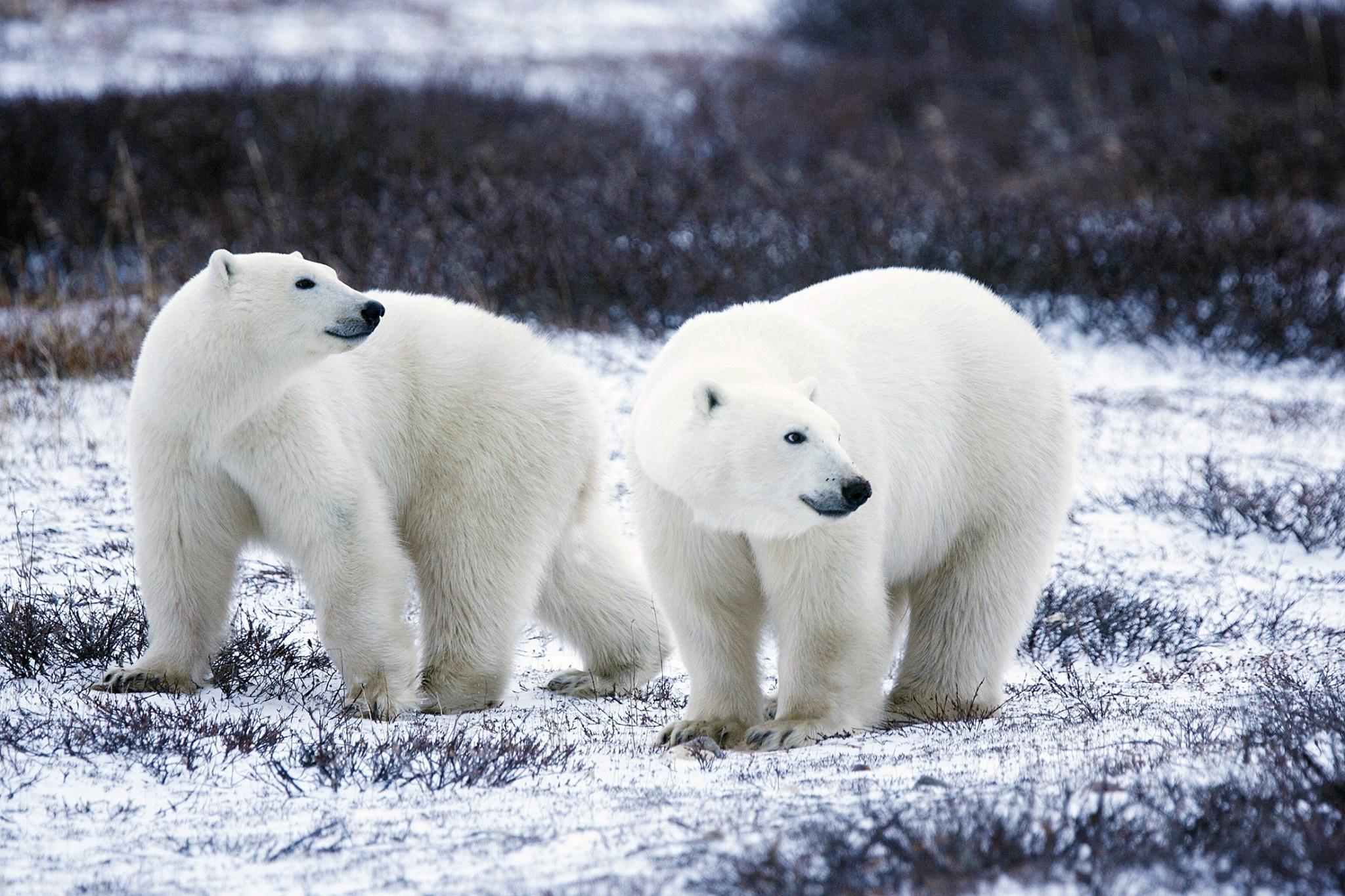 Eisbären Russland beginnt mit der Zählung