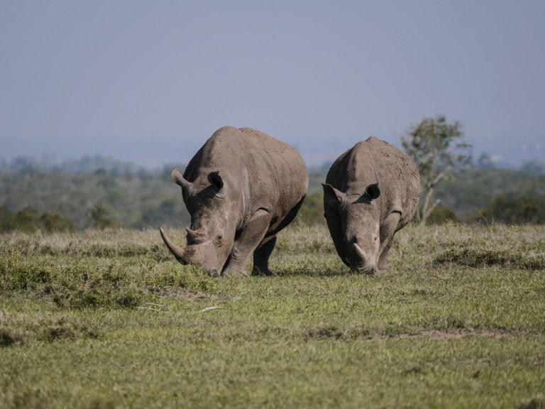 Südafrika Nashorn-Wilderei zurückgegangen
