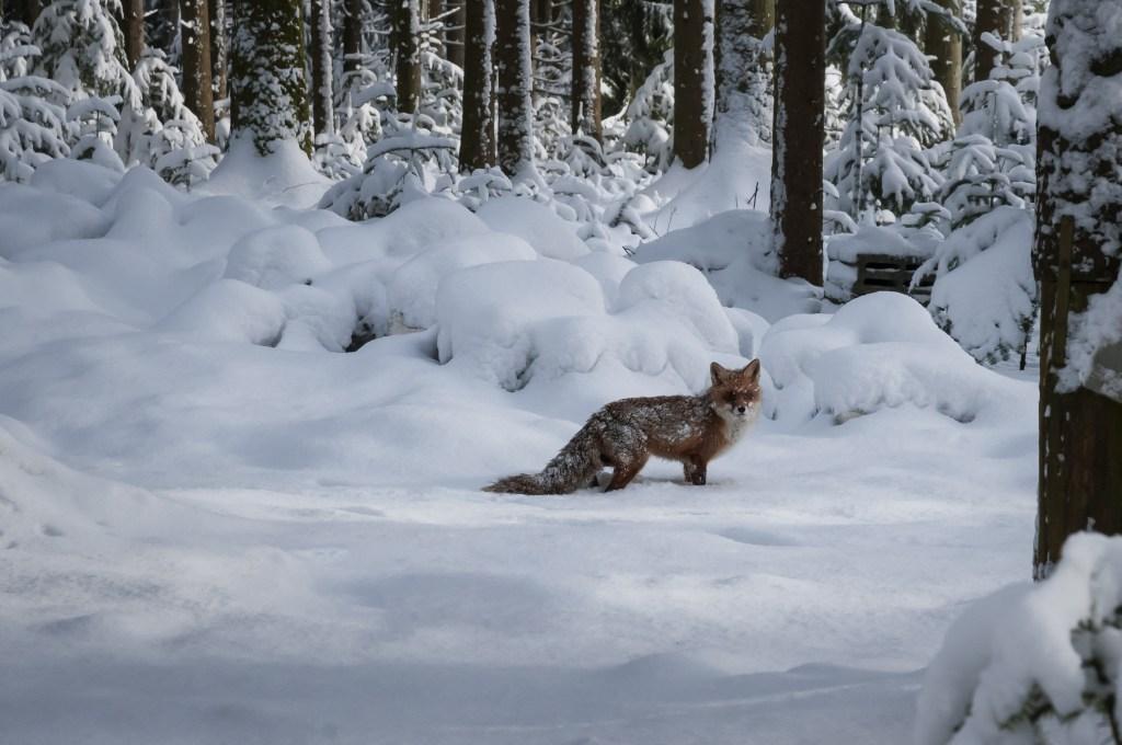 Wer jetzt noch Füchse jagt, jagt nicht waidgerecht