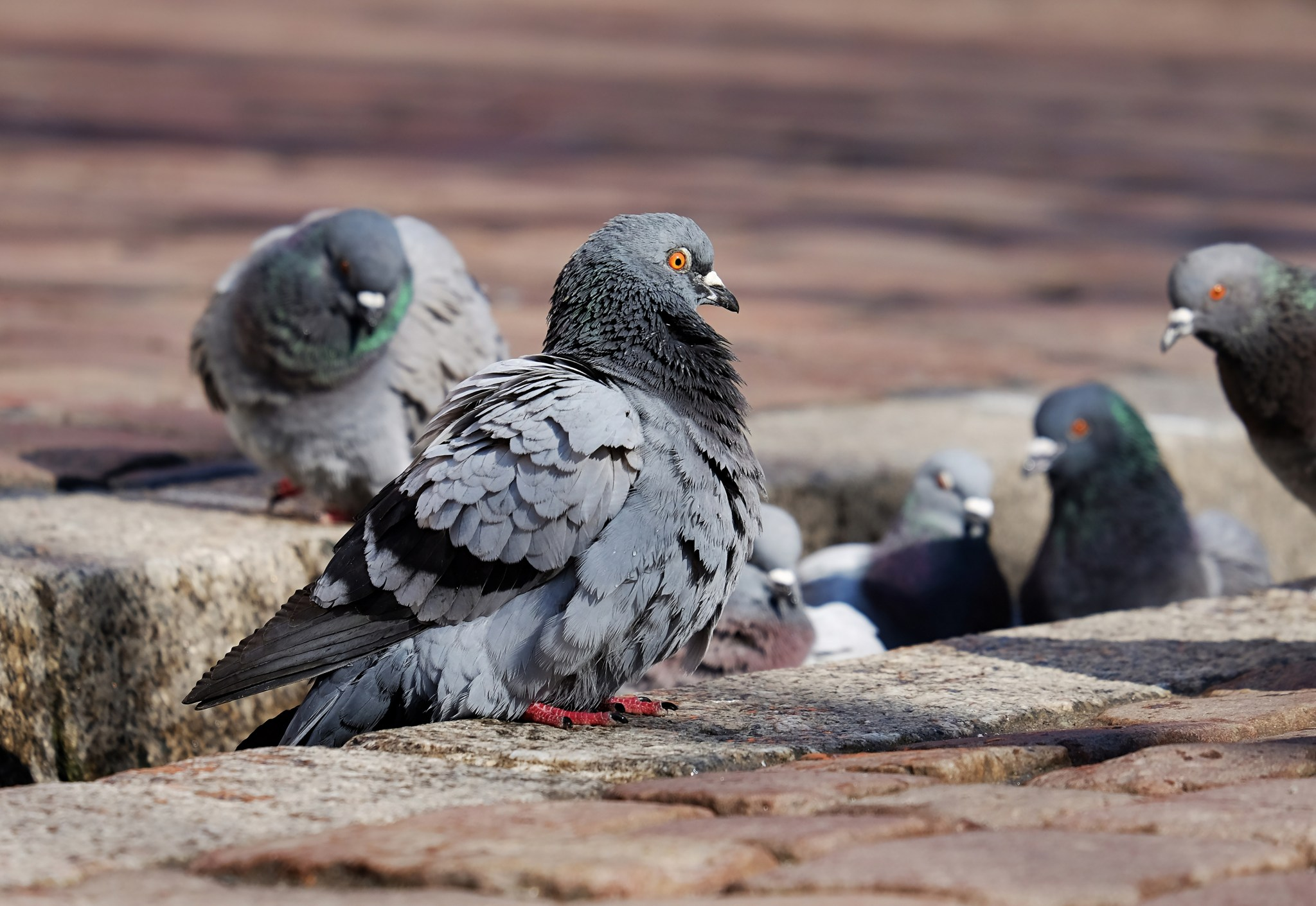 Basel Taubenpest ausgebrochen
