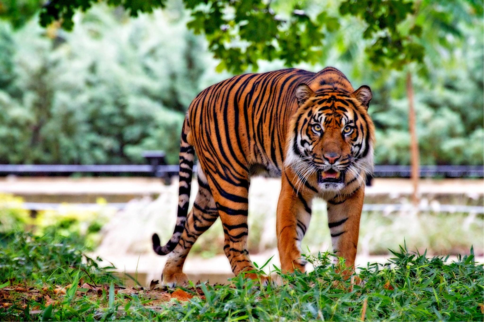 Zoo Tiger in New York mit Coronavirus infiziert