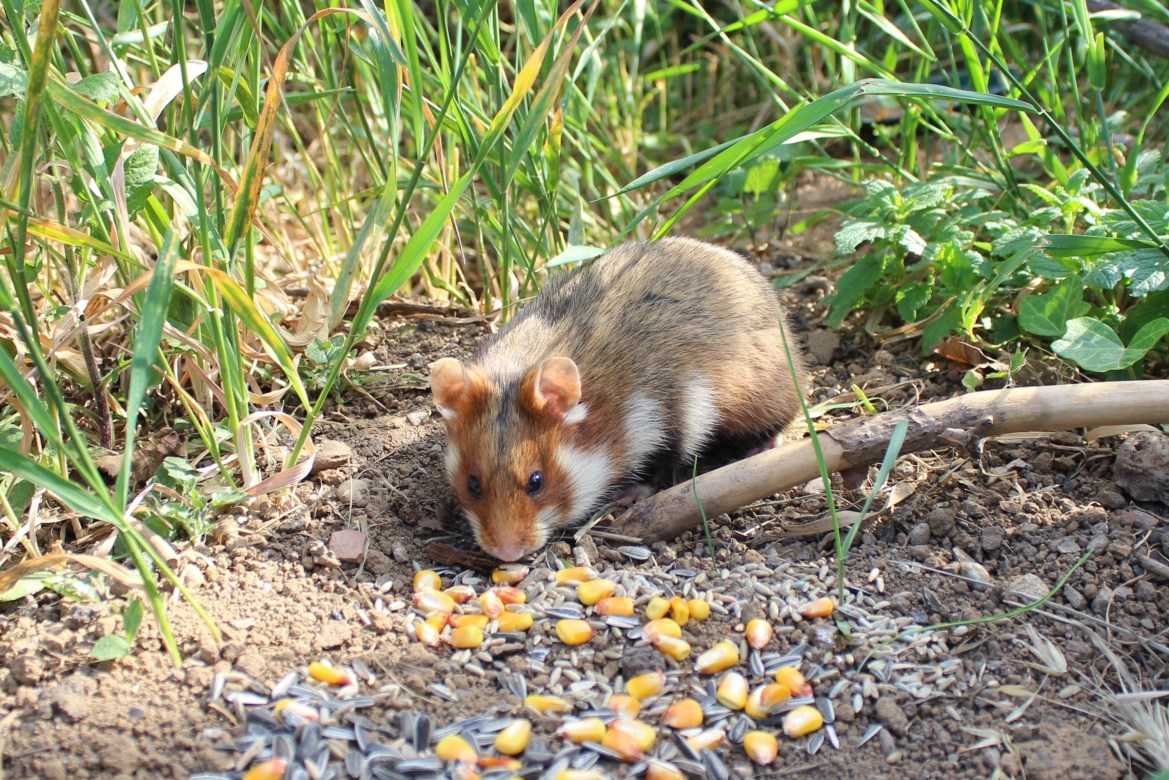Feldhamster Sind überall vom Aussterben bedroht