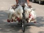 Geflügel China verbietet Verkauf auf Märkten