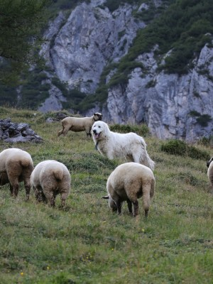 Jagdgesetz Herdenschutz statt Wolfsabschuss