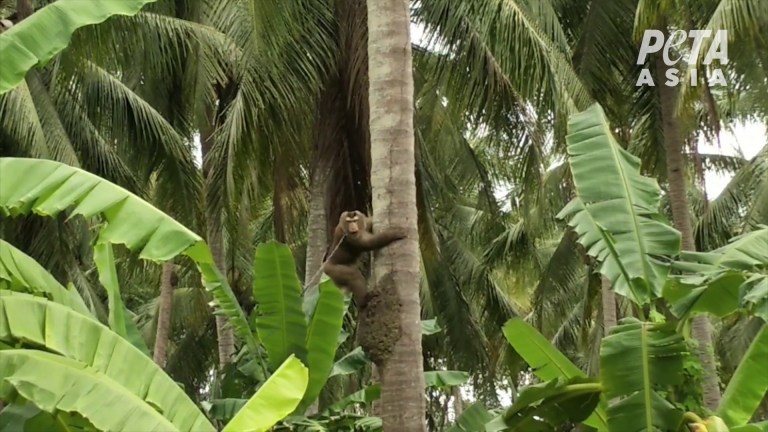Thailand Verstörte Affen in thailändischer Kokosindustrie eingesperrt und gequält