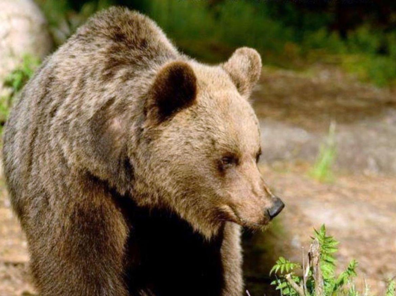 Trentino Bärin greift Hobby-Jäger an