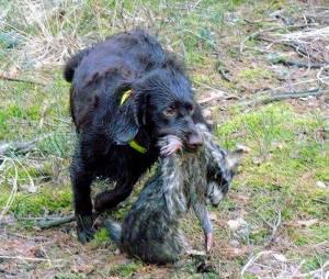 Jagdhund tötet Waschbär