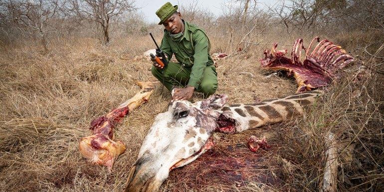 Hungersnot: Kenyaner gezwungen Giraffen zu jagen