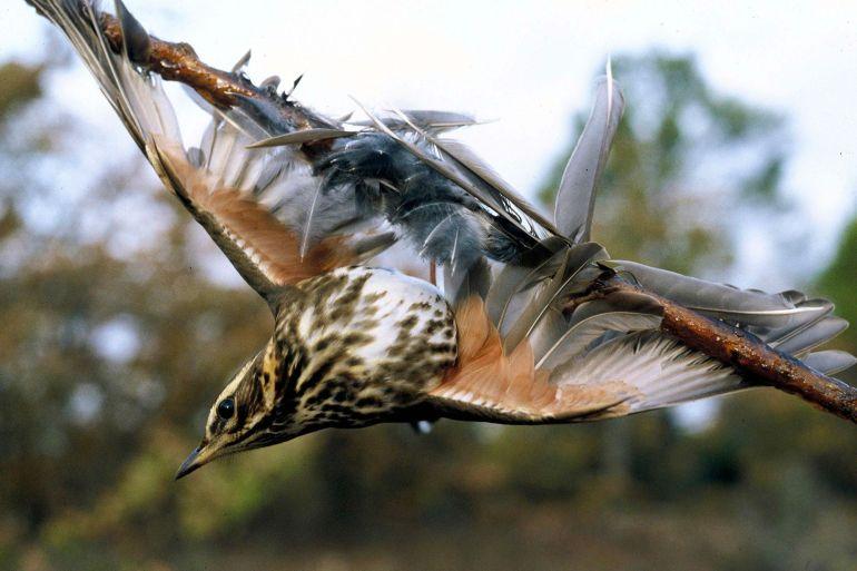 Europäische Kommission Frankreich verbietet Jagd mit Leimruten