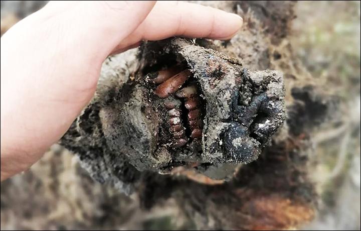 Kadaver eines vor 15'000 Jahren ausgestorbenen Höhlenbären gefunden