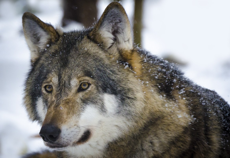 Wallis Gestörtes Demokratieverständnis zum Wolf