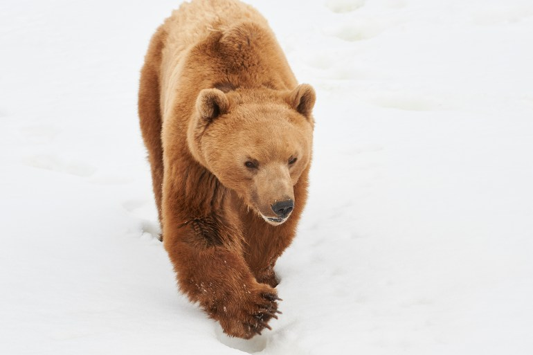 Napa im Schnee © Stiftung Arosa Bären | VIER PFOTEN