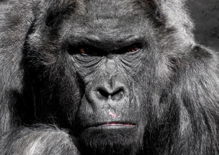 Schimpansen nach Ausbruch aus Gehege in niederländischem Zoo erschossen