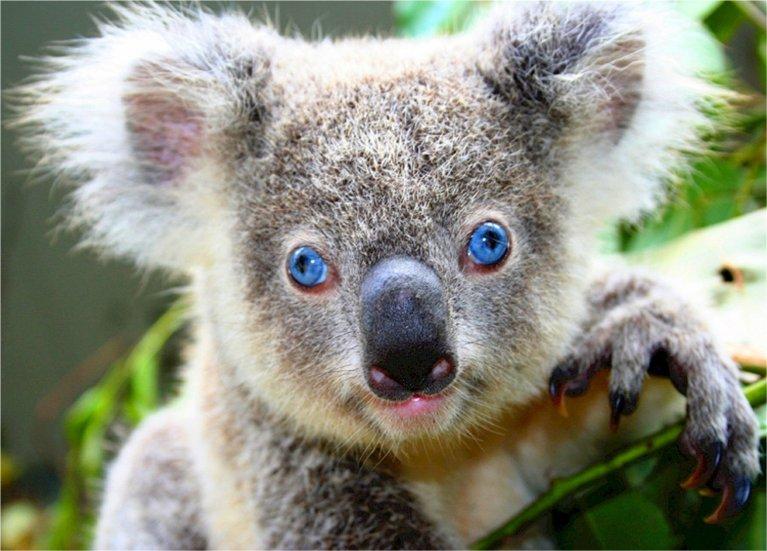 Stress ist tödlich für Koalas