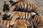 Tiger Mafia in Asien und Europa